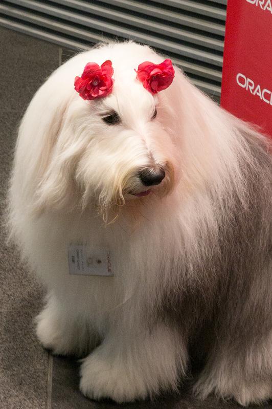 日本オラクルの社員犬キャンディも赤い花のリボンを付けて参加